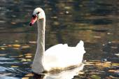 White swan on lake — Stock Photo