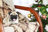 Funny, cute and playful pug dog on rocking chair near Christmas tree on light background — Stock Photo