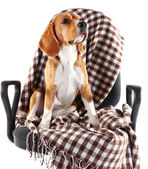 Beagle dog on chair with plaid isolated on white — Stock Photo