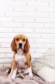 Beagle dog on wall background — Stock Photo