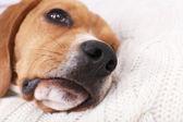 Beagle köpek yastık yakın çekim üzerinde — Stok fotoğraf
