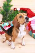 Beagle dog with Christmas gifts — Photo