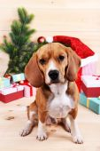 Beagle dog with Christmas gifts — Foto Stock