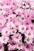 Chrysanthemum flowers background — Stock Photo