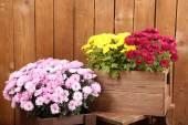 Chrysanthemum bushes in boxes — Stock Photo