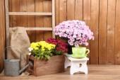 Chrysanthemum bush in wooden boxes — Stock Photo