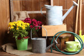 Chrysanthemum bush in pot — Stock Photo