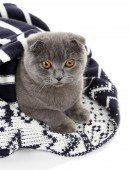 British cat wrapped in plaid isolated on white — Stock Photo