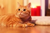 Red cat at home in Christmas time — ストック写真