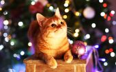 Red cat in Christmas time — Stock Photo