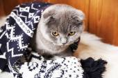 Lovely British cat wrapped in plaid on fur rug on wooden background — Stock Photo