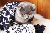 Ekose kürk halı üzerinde ahşap arka plan üzerinde sarılı güzel İngiliz kedi — Stok fotoğraf