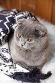 Lovely British cat wrapped in plaid on fur rug on wooden background — Stock fotografie
