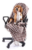 Beagle dog on chair with plaid isolated on white — Photo