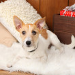 Funny little dog Jack Russell terrier on carpet at home — Stock Photo #61374291