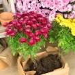Flowers in wooden box, pots and garden tools on bricks background. Planting flowers concept — Foto de Stock   #61374369