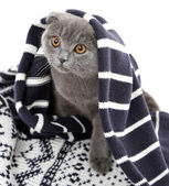 British cat wrapped in plaid isolated on white — ストック写真