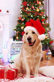 Labrador in Santa hat sitting on plaid with present box on wooden floor and Christmas decoration background — Stock Photo