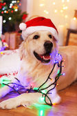 Labrador in Santa hat lying with garland on wooden floor and Christmas decoration background — Stock Photo