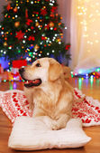 Labrador lying on plaid on wooden floor and Christmas decoration background — Stock fotografie