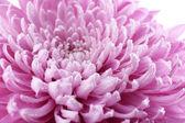 Beautiful chrysanthemum close-up — Stock Photo