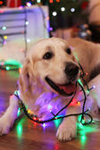 Labrador lying with garland on wooden floor and Christmas decoration background — Stock Photo