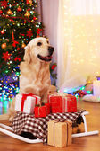 Labrador sitting near sledge with present boxes on wooden floor and Christmas tree background — Stock Photo