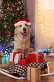 Labrador in Santa hat sitting near sledge with present boxes on wooden floor and Christmas tree background — Stock Photo