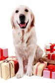 Adorable Labrador sitting with present boxes, isolated on white — Stock Photo