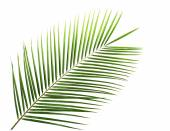 Green leaf of palm tree isolated on white — Stockfoto