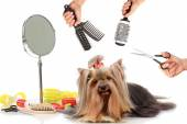 Yorkshire terrier grooming — Foto de Stock