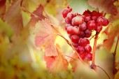 Bunches of ripe grape on plantation closeup — Stock Photo