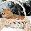 Red cat in wicker basket with scarf in winter time on fir tree background — Stock Photo #63136893