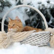 Red cat in wicker basket with scarf in winter time on fir tree background — Stock Photo #63136901