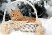 Red cat in wicker basket with scarf in winter time on fir tree background — Stock Photo