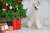 Samoyed dog in room near Christmas tree on white wall background — Photo
