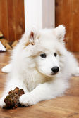 Cute Samoyed dog chewing firewood on wooden floor and fireplace on background — Stock Photo