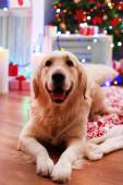 Labrador lying on plaid on wooden floor and Christmas decoration background — Stock Photo