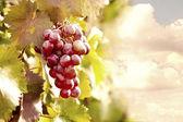 Bunches of ripe grape — Stock Photo