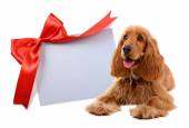 Cocker spaniel with greeting card — Stock Photo