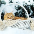 Red cat in wicker basket with scarf in winter time on fir tree background — Stock Photo #63221095