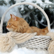 Red cat in wicker basket with scarf in winter time on fir tree background — Stock Photo #63221121