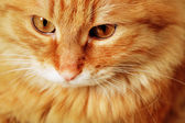 Portrait of red cat — Stock Photo