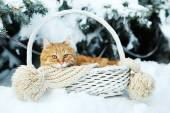 Red cat in wicker basket with scarf in winter time on fir tree background — Photo