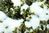 Bush covered with snow, closeup view — Stock Photo