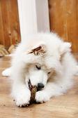 Samoyed dog chewing firewood — Stock Photo