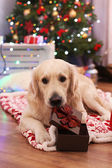 Big Labrador lying on plaid on wooden floor and Christmas tree background — Stock Photo