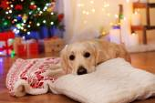 Labrador lying on plaid on wooden floor and Christmas decoration background — Foto de Stock