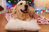 Labrador lying on plaid on wooden floor and Christmas decoration background — Stok fotoğraf