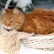 Red cat in wicker basket with scarf in winter time on fir tree background — Stock Photo #63532885